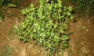Sater ( Satureja hortensis L.) Bitkisi Üniversite Araştırması