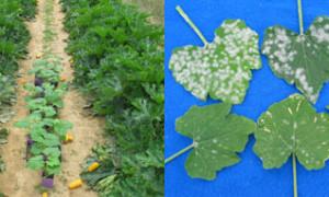 Vermikompost Çayı ve Fungusit Olarak Kullanımı