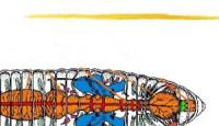 Solucanlar ve Sindirim Sistemleri