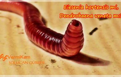 Eiesenia hortensis mi Dendrobaena veneta mı?